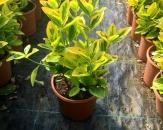 altuni-taflan-euonymous-japonica-aureo-1