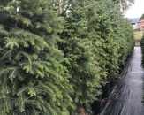 bati-ladini-picea-abies-4