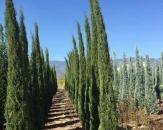 juniperus-skyrocket-kalem-ardic-1
