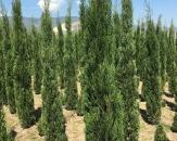 juniperus-skyrocket-kalem-ardic-2