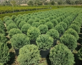 leylandi-cupressocyparis-2-topiary