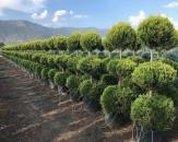 limoni-servi-cupressus-macrocarpa-goldcrest-topiary-2