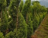 limoni-servi-cupressus-macrocarpa-goldcrest-topiary-3