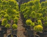 limoni-servi-cupressus-macrocarpa-goldcrest-topiary-4