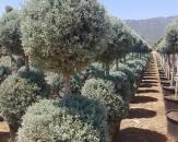mavi-servi-cupressus-arizonica-glauca-topiary-1