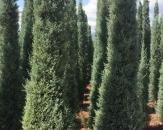 mavi-servi-cupressus-arizonica