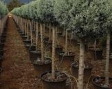 mavi-servi-tek-top-cupressus-arizonica-glauca-1