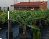 palmiye