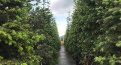 Batı Ladini – Picea Abies
