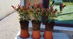Bodur Alev – Photinia Fraseri Little Red Robin