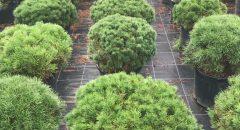Bodur Dağ Çamı – Pinus Mugo