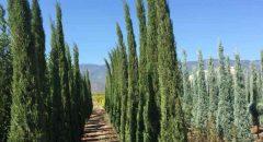 Juniperus Skyrocket – Kalem Ardıç