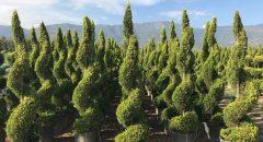 Limoni Servi – Cupressus Macrocarpa Goldcrest Topiary