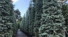 Mavi Ladin – Picea Pungens Glauca