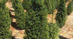 Porsuk – Taxus Baccata