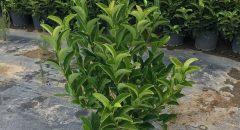Yağlı Kartopu – Viburnum Lycidum