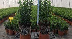 Yeşil Çıtır Taflan – Euonymus Japonica Green Spire